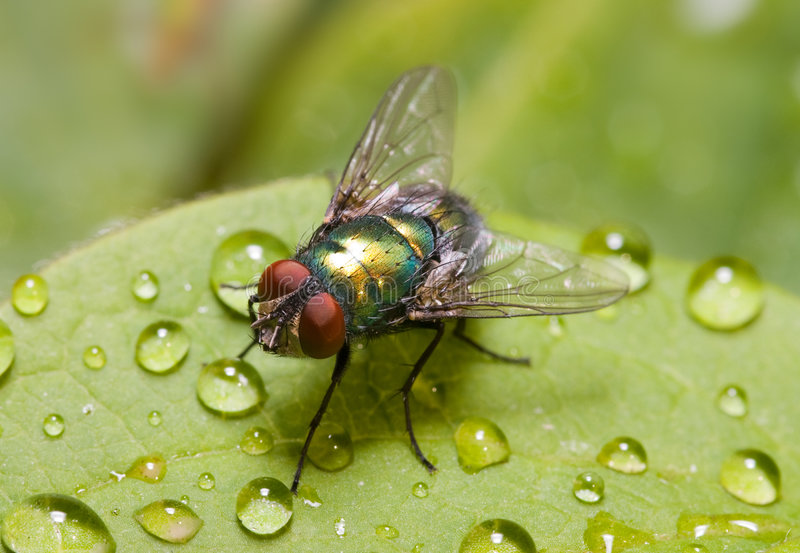 Download Golden-green Bottle Fly On A Leaf, Three Quarters Stock Photo - Image: 4630558