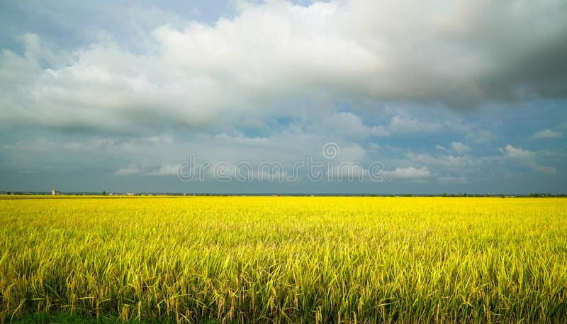Golden green paddy field. Beautiful golden yellow rice paddy field, ready to be harvested. Agriculture or landscape concept stock photos