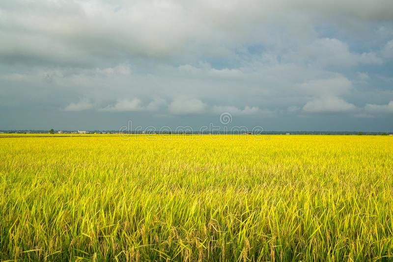 Golden green paddy field. Beautiful golden yellow rice paddy field, ready to be harvested. Agriculture or landscape concept royalty free stock image
