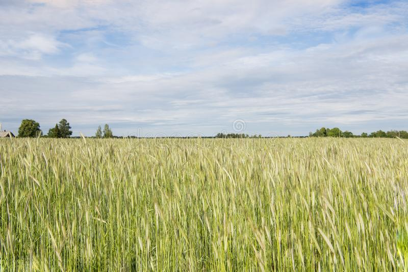 Golden-green rye field on sunny summer day royalty free stock photo