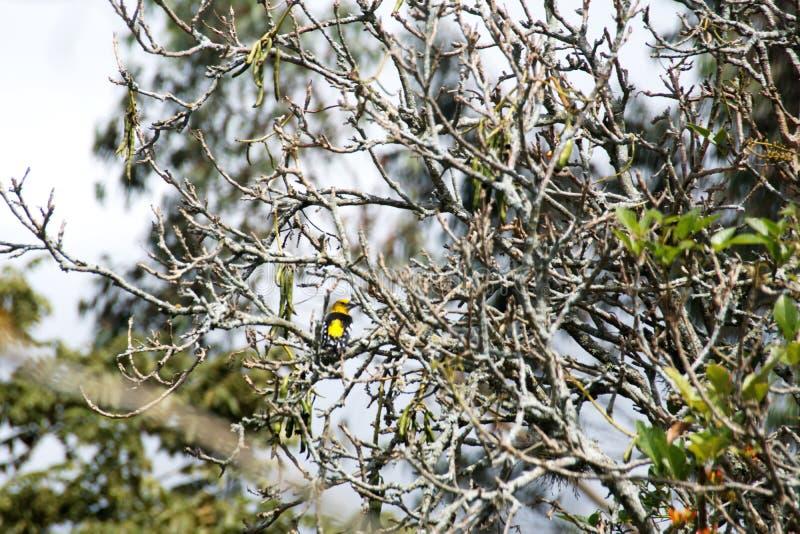 Golden grosbeak in a tree. Golden grosbeak - Pheucticus chrysogaster - perched in a tree in Cotacachi, Ecuador stock photos
