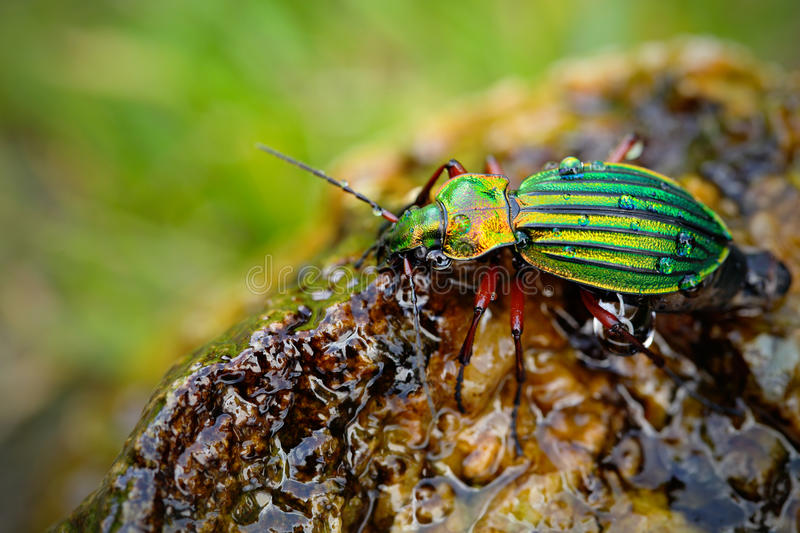 Golden ground beetle, Carabus auronitens, beautiful glossy insect on the wet stone. Water scene with shiny Golden ground beetle. royalty free stock image