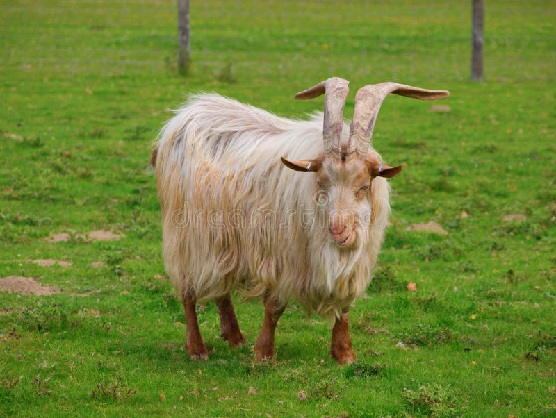 Download Golden Guernsey Goat Facing The Camera And Smiling Stock Images - Image: 22310314