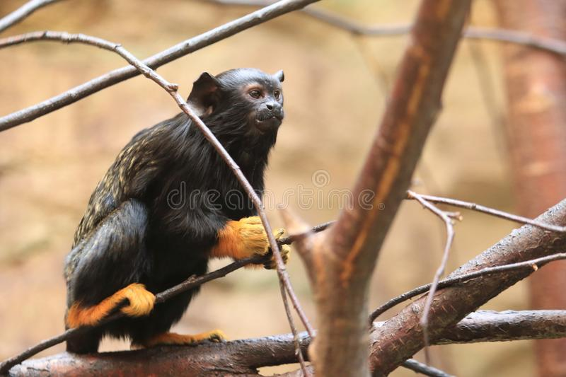 Golden-handed tamarin. Standing on the tree royalty free stock image