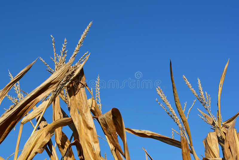 Golden Harvest stock image