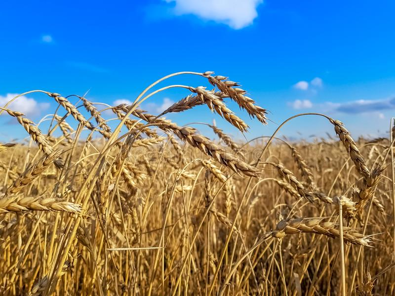 Golden harvest under blue cloudy sky. Soft focus on bottom of picture. The concept of harvesting bread royalty free stock images