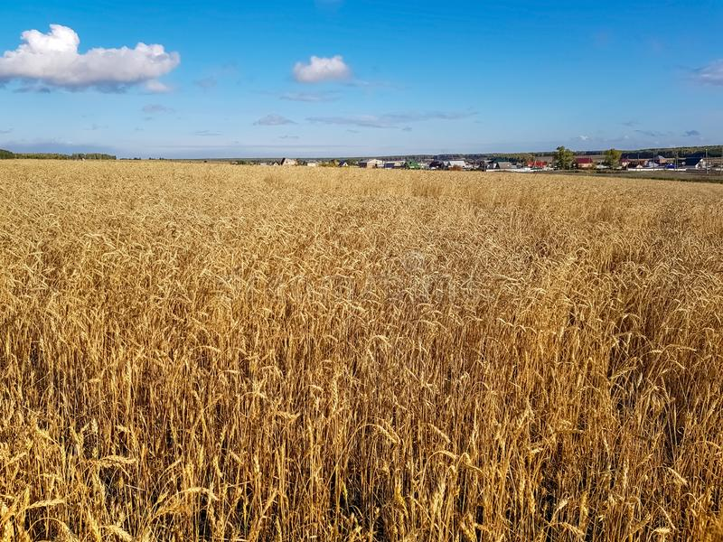 A Golden harvest under a blue cloudy sky. Village in the background. The concept of harvesting bread royalty free stock image