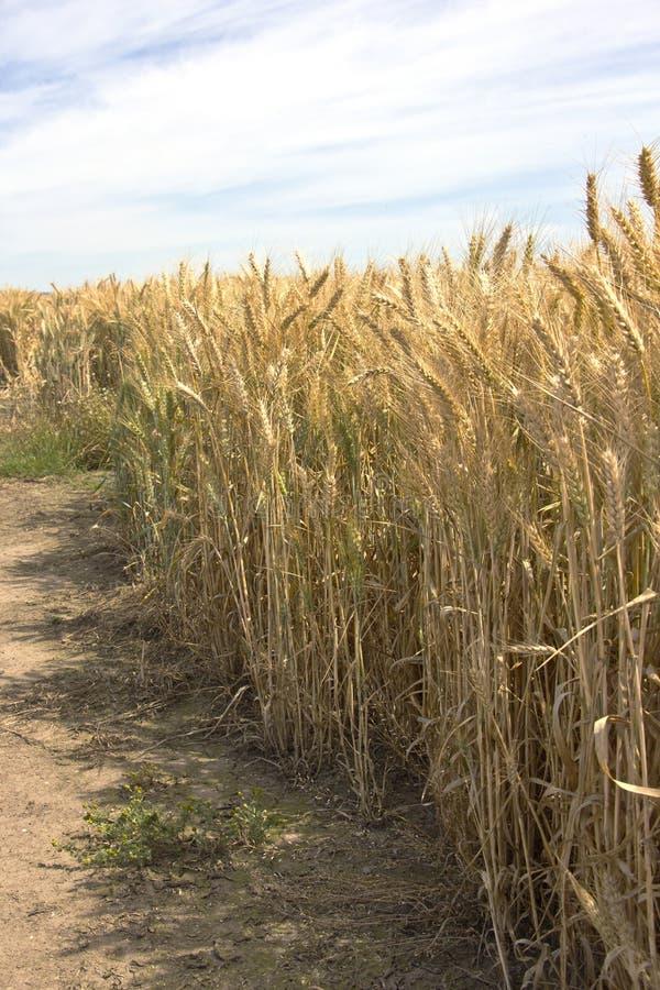 Golden harvest Willamette valley Oregon. Golden harvest wheat fields Willamette valley Oregon stock image