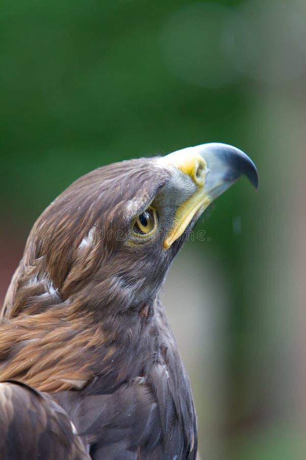 Golden Hawk Royalty Free Stock Photo