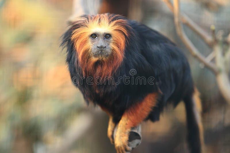 Download Golden-headed lion tamarin stock image. Image of leontopithecus - 24026883