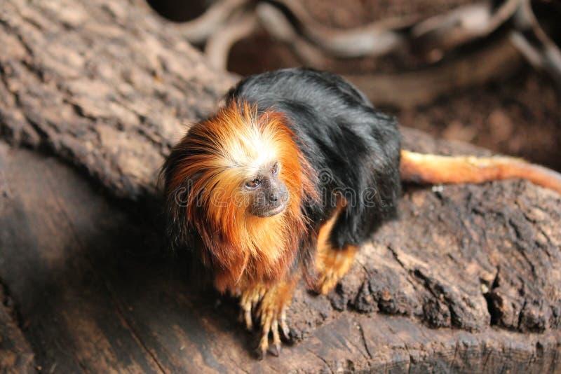 Monkey Golden-headed Lion Tamarin - Leontopithecus chrysomelas. Monkey rare lion like Golden Tamarin stock photo