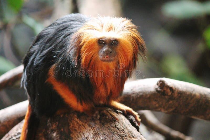 Monkey Golden-headed Lion Tamarin - Leontopithecus chrysomelas. Monkey rare lion like Golden Tamarin monkey stock images