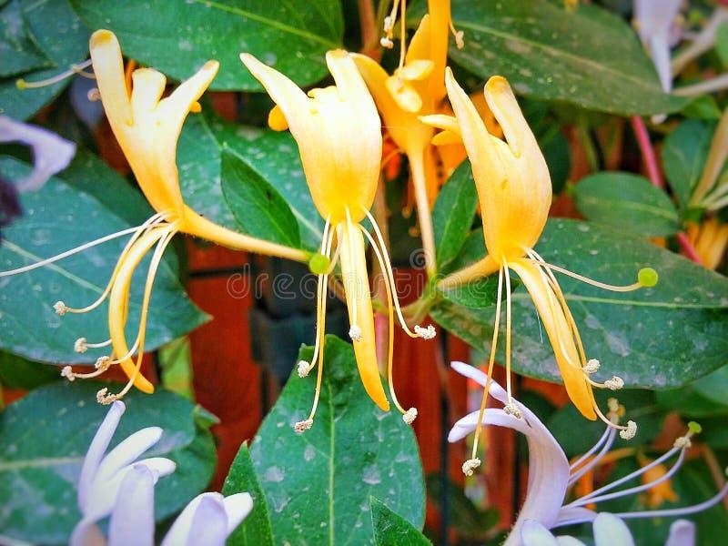 Golden Honeysuckle Flowers stock photo