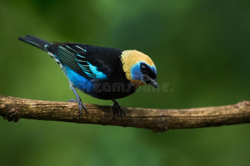Golden-hooded Tanager. Colorful Golden-hooded Tanager posing on a branch, Costa Rica