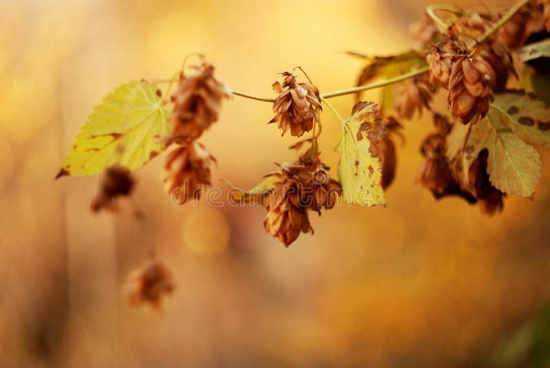 Golden hops in the fall stock photos