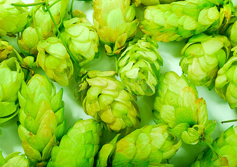 Golden hops on white. Brewery: golden hops on white background royalty free stock photo