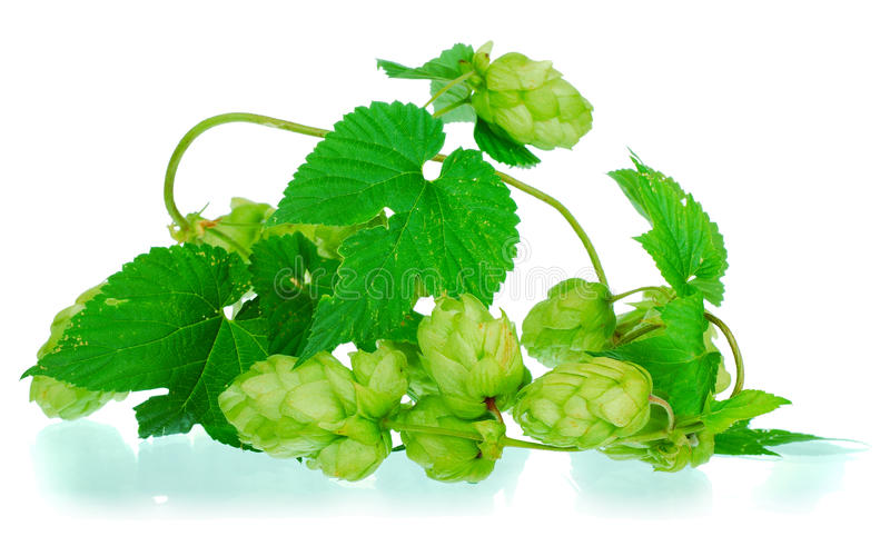 Golden hops on white royalty free stock photography