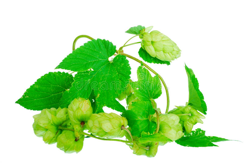 Golden hops on white stock image