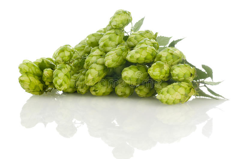 Golden hops on white stock photography