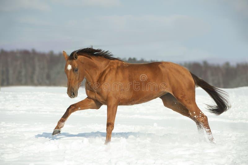 Golden horse in winter field stock photos