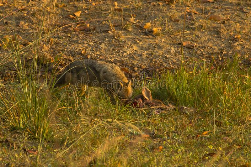 Wary Golden Jackal with Kill. At the golden hour of the early morning, as sunlight bathes the grass and ground, this wary Golden Jackal engorges on a kill while stock photos