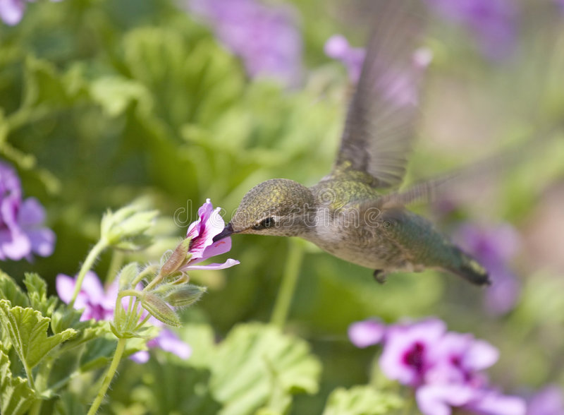 Golden Hummingbird stock images
