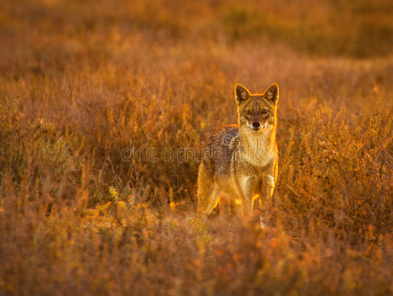Golden Jackal. The golden jackal, also known as the common jackal, Asiatic jackal or reed wolf is a canid native to southeastern and central Europe, Asia Minor royalty free stock photos