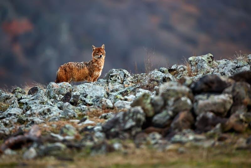 Golden jackal, Canis aureus, in mountains. Wildlife scene from Bulgaria. stock images
