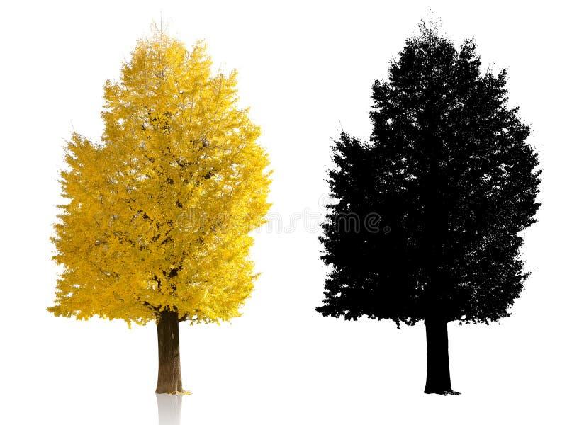 Golden japan ginkgo tree on white background. Autumn season alpha shadow royalty free stock photos