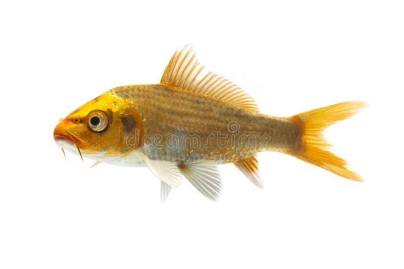 Download Golden Koi Fish stock image. Image of domestic, goldfish - 28982589
