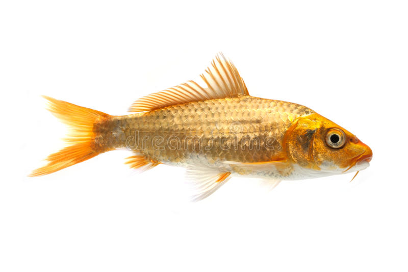 Golden Koi Fish Stock Image