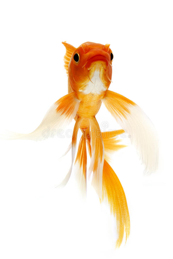 Download Golden Koi Fish stock image. Image of colorful, white - 29087957