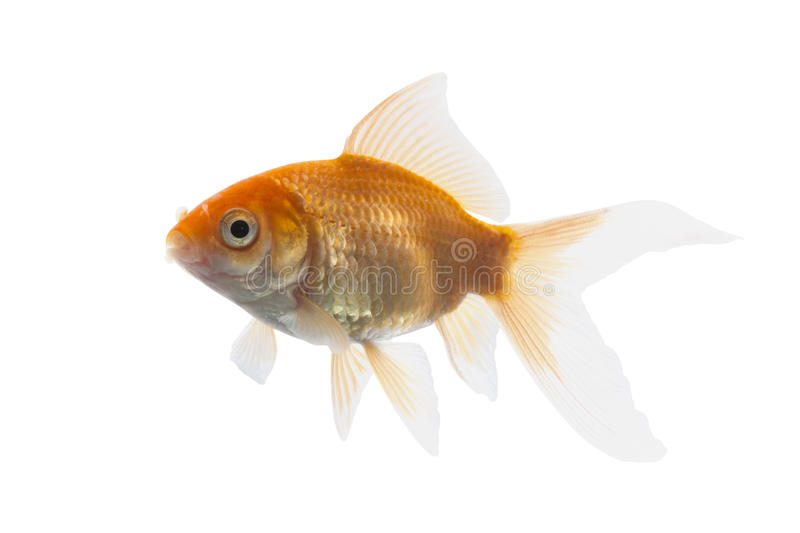 Golden koi fish. Isolated on white background with using path royalty free stock images