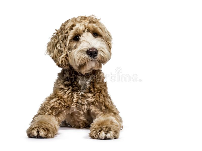 Golden labradoodle on white background. Golden Labradoodle laying down with closed mouth and looking sideways isolated on white background royalty free stock photos