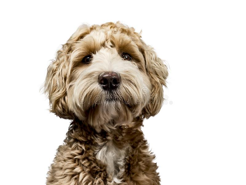 Golden labradoodle on white background. Head shot of golden Labradoodle with cosed mouth, looking straight at camera isolated on white background royalty free stock images