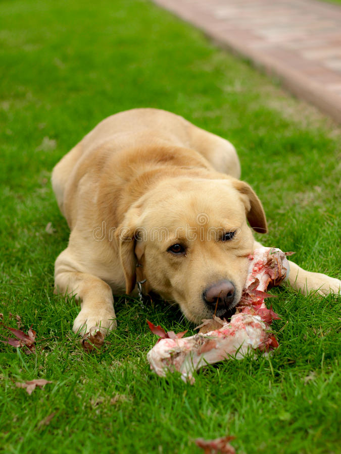 Golden labrador. On green grass eating raw meet or bone, beautiful and smart dog, good swimmer and lifeguard stock photo