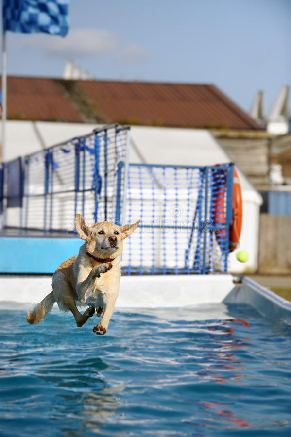 Golden Labrador jumping into a pool of water. Golden Labrador retriever jumping after a ball into a pool of water royalty free stock photos
