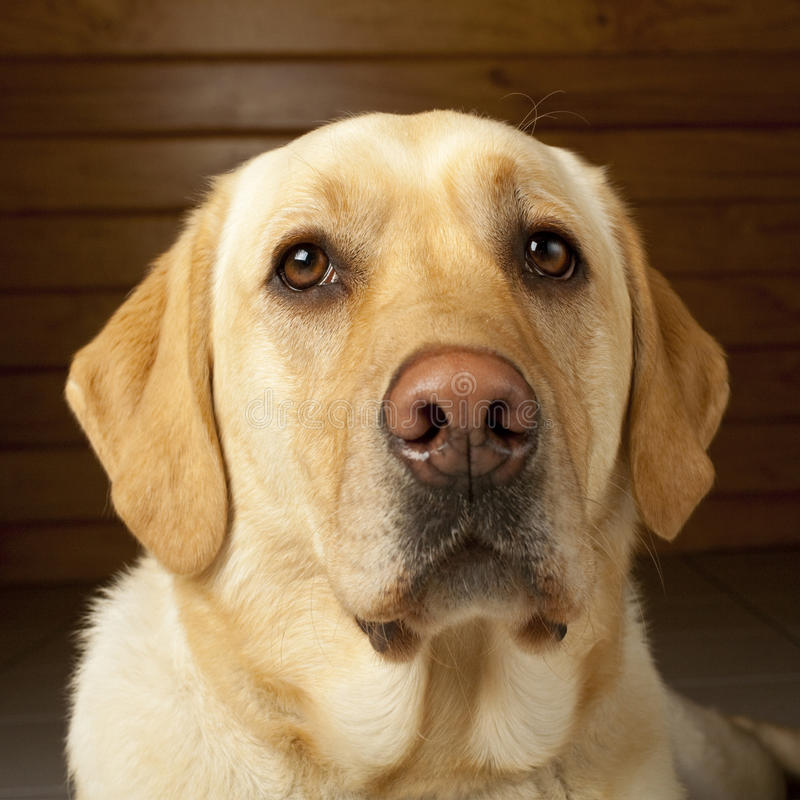 Download Golden Labrador Portrait stock image. Image of yellow - 26071743