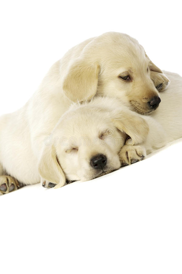 Golden Labrador Puppies stock photo