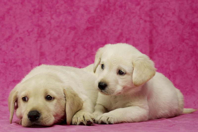 Golden Labrador Puppies stock photos