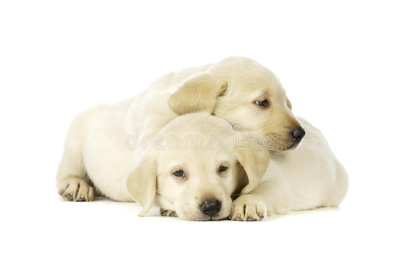 Golden Labrador Puppies royalty free stock photo