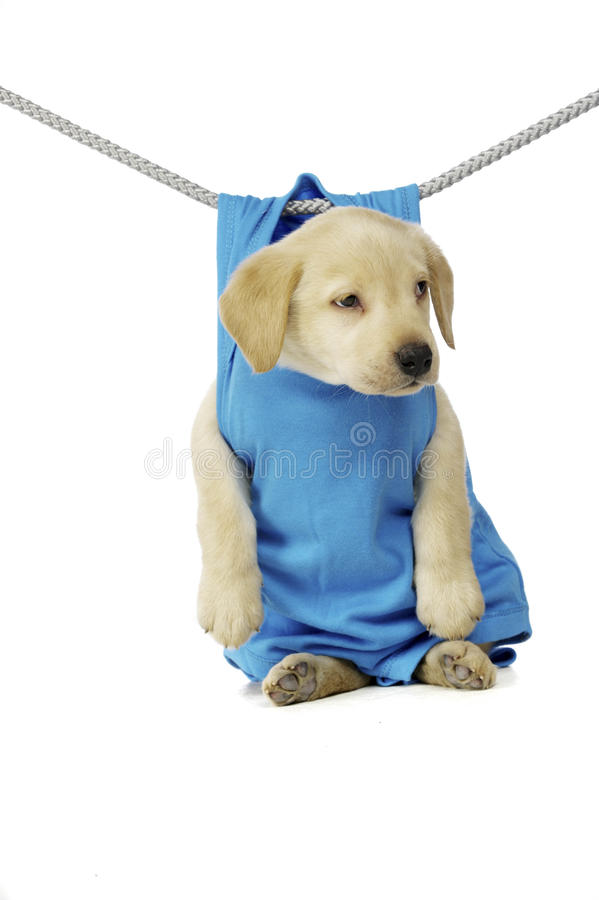Golden Labrador Puppy royalty free stock image
