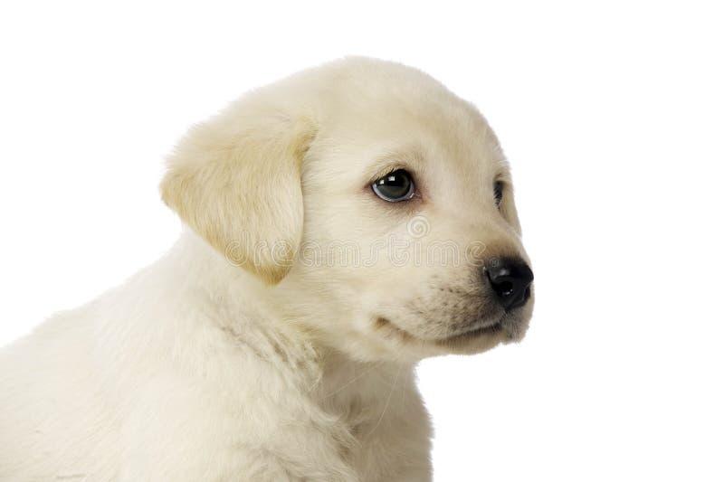 Golden Labrador Puppy stock image