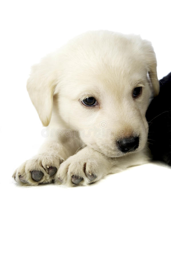 Golden Labrador Puppy stock photography