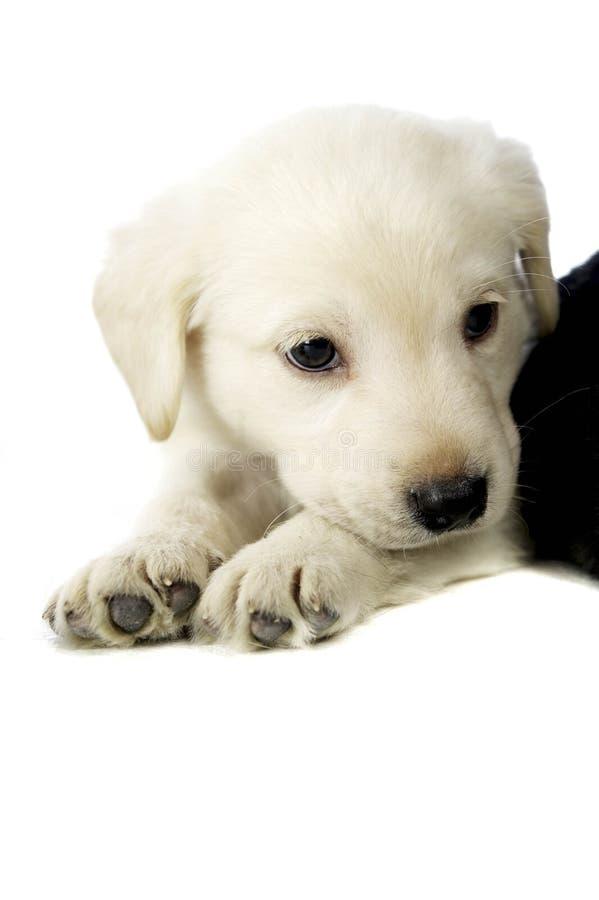 Golden Labrador Puppy stock photography