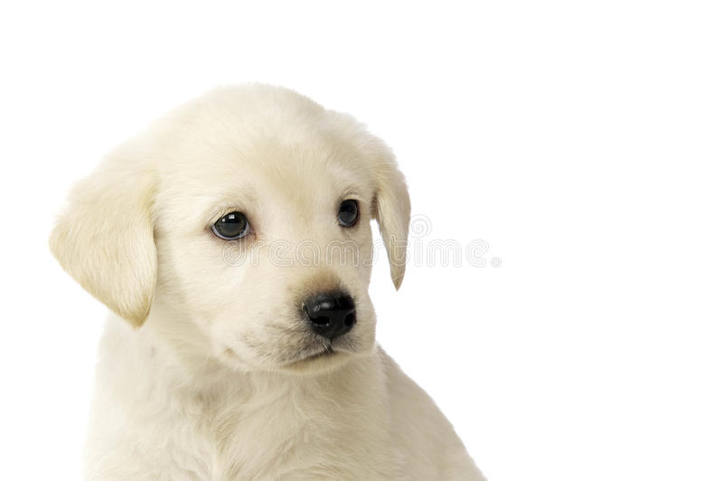 Golden Labrador Puppy stock images