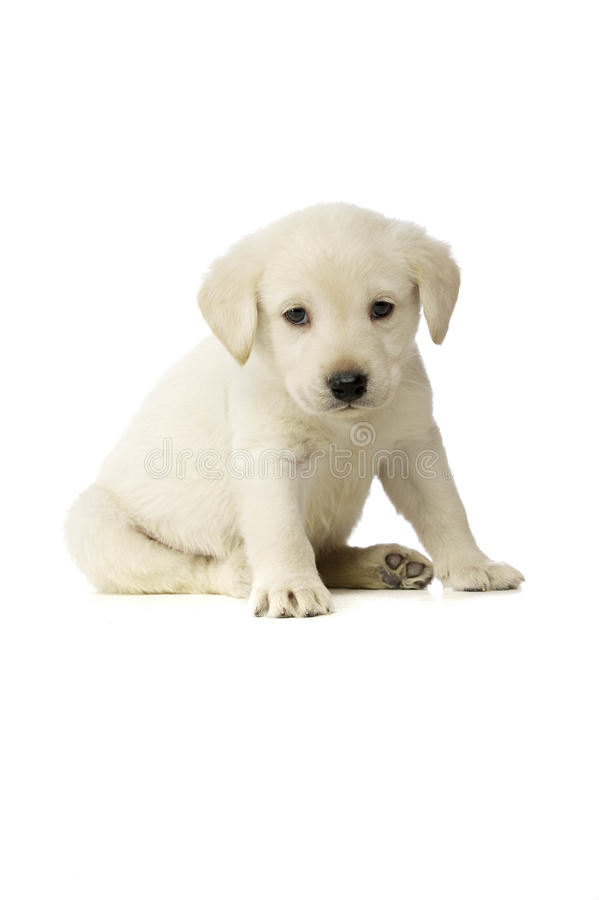 Golden Labrador Puppy royalty free stock image