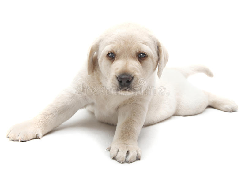 Golden Labrador puppy royalty free stock images