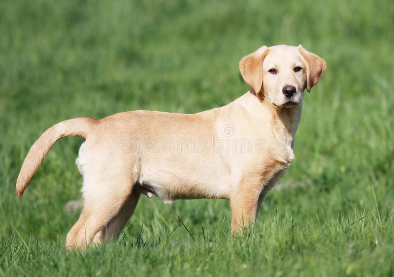Golden Labrador puppy royalty free stock photography