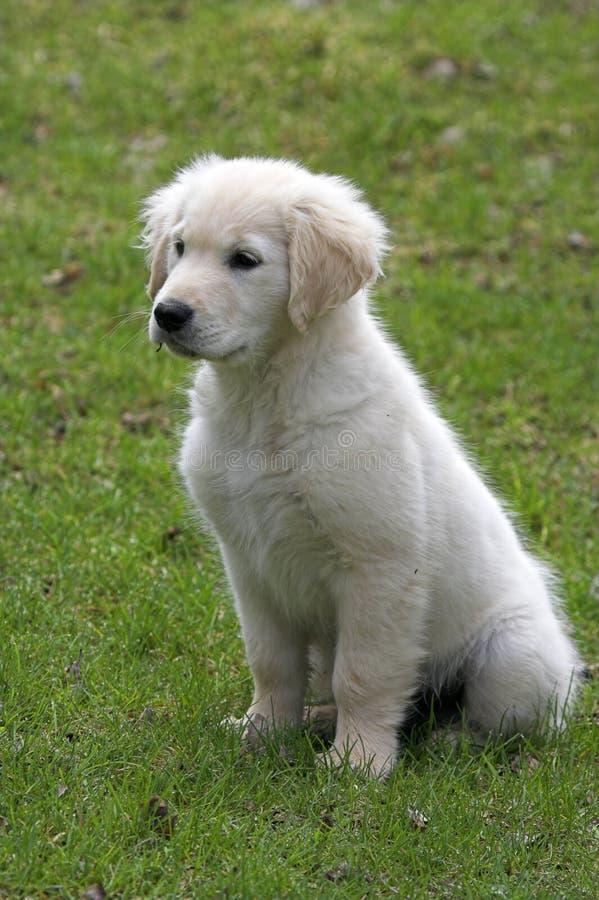 Free Golden Labrador Retriever Stock Photos - 1353033